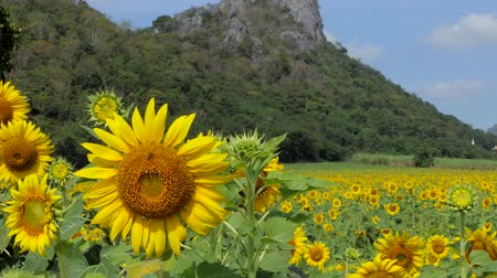 Dolly shot of sunflowers growing in field, agriculture industry, at rural of Thailand.