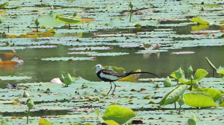Pheasant-tailed Jacana (Hydrophasianus chirurgus) on lotus leaf at wetland in the breeding season. Stok Video