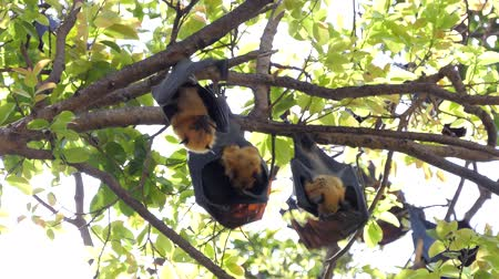 feathered : Lyles flying fox (Pteropus lylei) on a tree, animal backgrounds.