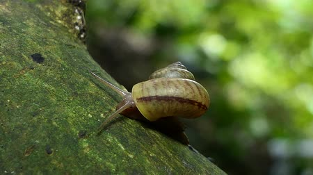 kétéltű : Snail (Sarika snail) on branch in tropical rainforest. Stock mozgókép