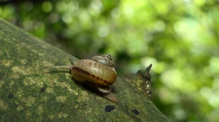 Snail (Sarika snail) on branch in tropical rainforest. Vidéos Libres De Droits