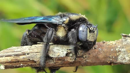 tropical insects : Black bumble bee (Xylocopa latipes) on branch in tropical rain forest.