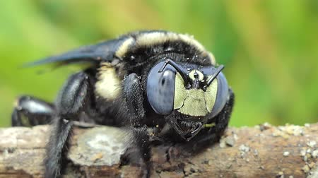 скрывать : Dolly shot of Black bumble bee (Xylocopa latipes) on branch in tropical rain forest.