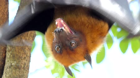 zoolojik : Lyles flying fox (Pteropus lylei) on a tree in tropical rain forest Stok Video
