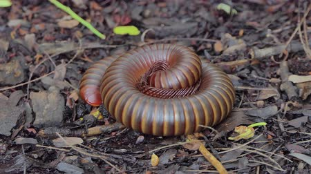 musgo : Millipede curled to protect against  from predators in tropical rain forest. Vídeos
