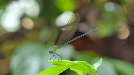 fragilidade : Blue dragonfly on leaves in tropical rain forest.