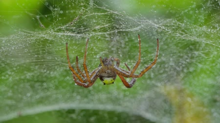 паук : Closeup of spider on web in tropical rain forest, after rain.