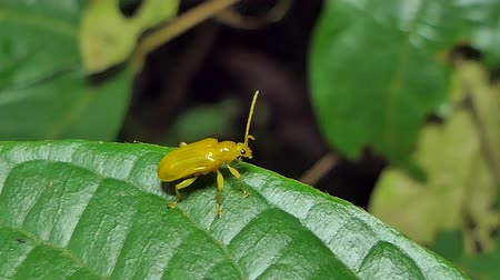 энтомология : Yellow beetle are wagging antenna on leaf in tropical rain forest.