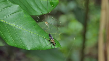 паук : Harvestmen (Sclerosomatida) are tries catching Robber Fly (Asilidae) on leaves in tropical rain forest. Стоковые видеозаписи