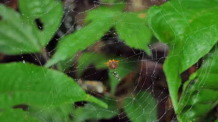 кусаться : Spiders are catching insects on cobweb and eating in tropical rainforest.