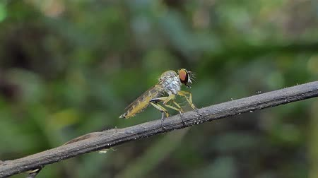 fisiologia : Robber Fly (Asilidae) on branch in tropical rainforest.