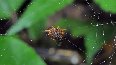 паук : Spiders are catching insects on cobweb and eating in tropical rainforest.