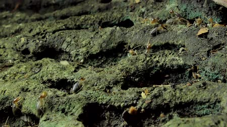 ısırma : Crowd of termites (Macrotermes) on ground in tropical rain forest.
