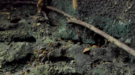 паук : Crowd of termites (Macrotermes) on ground in tropical rainforest. Стоковые видеозаписи