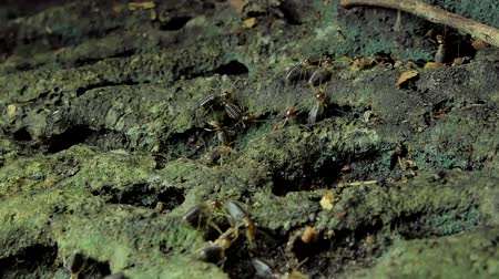 araignée : Crowd of termites (Macrotermes) on ground in tropical rainforest. Vidéos Libres De Droits