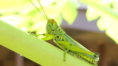 canino : Green Grasshopper (Cyrthacantacris tatarica) on branch in tropical rain forest.