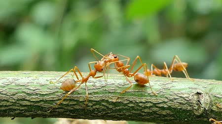 feeding ground : Red ant (Oecophylla smaragdina Fabricius) on branch in tropical rainforest.