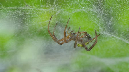 паук : Brown spider on web in tropical rainforest, after rain.