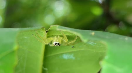 паук : Yellow Jumping Spider (Salticidae) on leaves in tropical rainforest. Стоковые видеозаписи