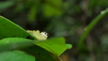 паук : Yellow Jumping Spider (Salticidae) on leaves in tropical rain forest. Стоковые видеозаписи