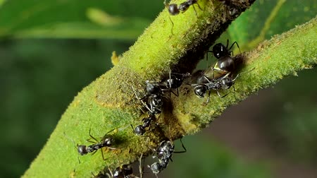 denemek : Black ant (Paratrechina longicornis) try to chase aphids (Brown Planthopper) out off area on branch in tropical rain forest. Stok Video