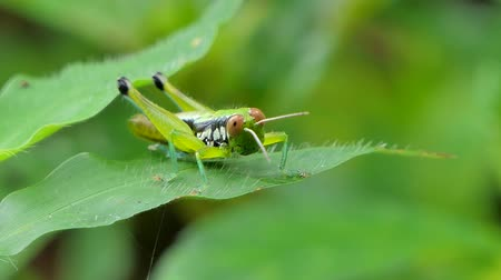 grasshopper : Rice Grasshopper (Hieroglyphus banian) on leaves in tropical rain forest.