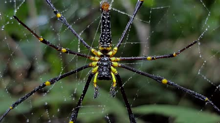 паук : Nephila pilipes spider, is a species of golden orb-web spider, on web in tropical rain forest. Стоковые видеозаписи