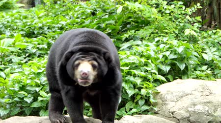 ismert : Malayan Sun Bear (Helarctos malayanus) is also known as the honey bear, have habitats in tropical forest of Southeast Asia.