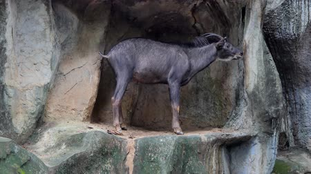 живая природа : Serow, smaller relatives the gorals, have habitats on rocky hills cliffs or high mountains.