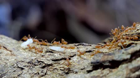 生態系 : Red ant (Oecophylla smaragdina Fabricius) carrying food on tree in tropical rain forest.
