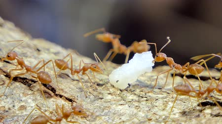 feeding ground : Red ant (Oecophylla smaragdina Fabricius) carrying food on tree in tropical rain forest.
