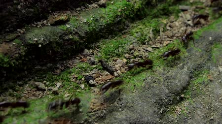 biodiverzitás : Crowd of black ants walking on old timber in tropical rain forest.