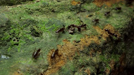 andar : Crowd of black ants walking on old timber in tropical rain forest.