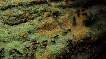 amazonka : Crowd of black ants walking on old timber in tropical rain forest.
