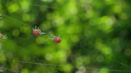 паук : Spider, new born, on cobweb in tropical rain forest. Стоковые видеозаписи