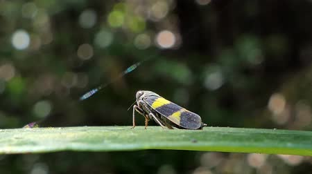amazonka : Green rice leafhopper (Nephotettix cincticeps) on a green leaf in tropical rainforest.