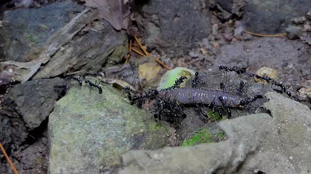 rain forest : Crowds of black ant (Iridomyrmex anceps) carrying earthworm  in tropical rainforest.
