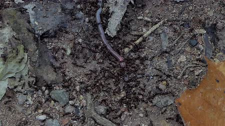 ant : Crowds of black ant (Iridomyrmex anceps) carrying earthworm  in tropical rain forest.