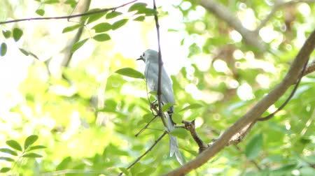 bird ecology : Ashy Drongo bird (Dicrurus leucophaeus) on branch in tropical rain forest.