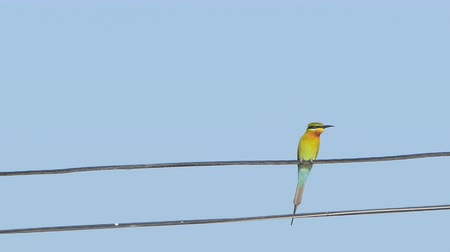 stěhovavý : Blue-tailed bee-eater bird (Merops philippinus) on power cord in rural.