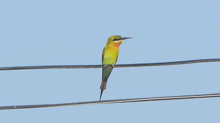 生態系 : Blue-tailed bee-eater bird (Merops philippinus) on power cord in rural.