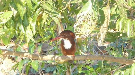 stěhovavý : White-throated Kingfisher bird (Halcyon smyrnensis) on branch at wetland in rural of Thailand.