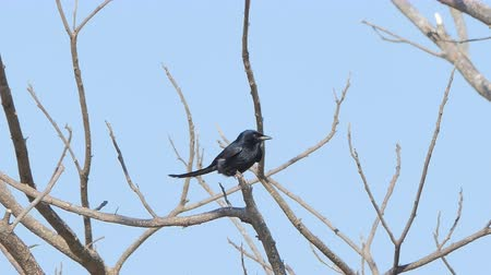 oco : Black Drongo bird (Dicrurus macrocercus) on branch in tropical rain forest.
