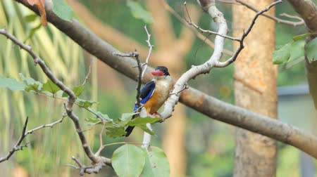 broca : Black-capped Kingfisher bird (Halcyon pileata) on branch in nature at tropical rain forest.