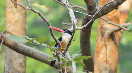 oco : Black-capped Kingfisher bird (Halcyon pileata) on branch in nature at tropical rain forest.