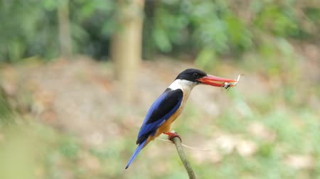 feathered : Black-capped Kingfisher bird (Halcyon pileata) catch insects in tropical rainforest. Stock Footage
