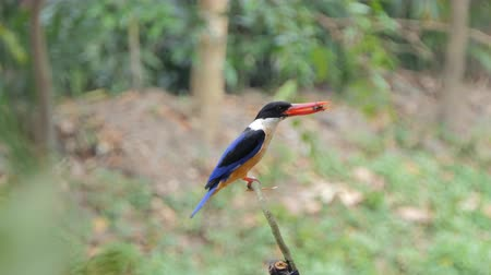 barbet : Black-capped Kingfisher bird (Halcyon pileata) catch insects in tropical rainforest. Stock Footage