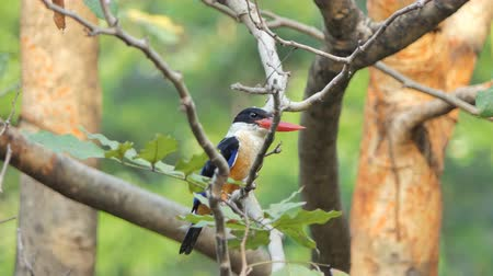indian roller : Black-capped Kingfisher (Halcyon pileata) on branch in tropical rainforest. Stock Footage