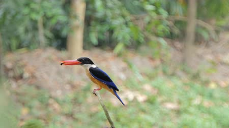 barbet : Black-capped Kingfisher bird (Halcyon pileata) catch insects in tropical rain forest.