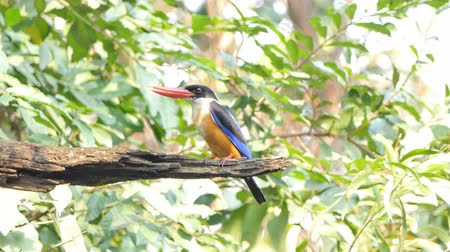 oco : Black-capped Kingfisher (Halcyon pileata) on branch in tropical rain forest.